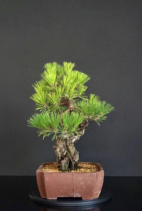 Pino Nero Giapponese - Pinus Thumbergii - Pagina 2 Lato-d19