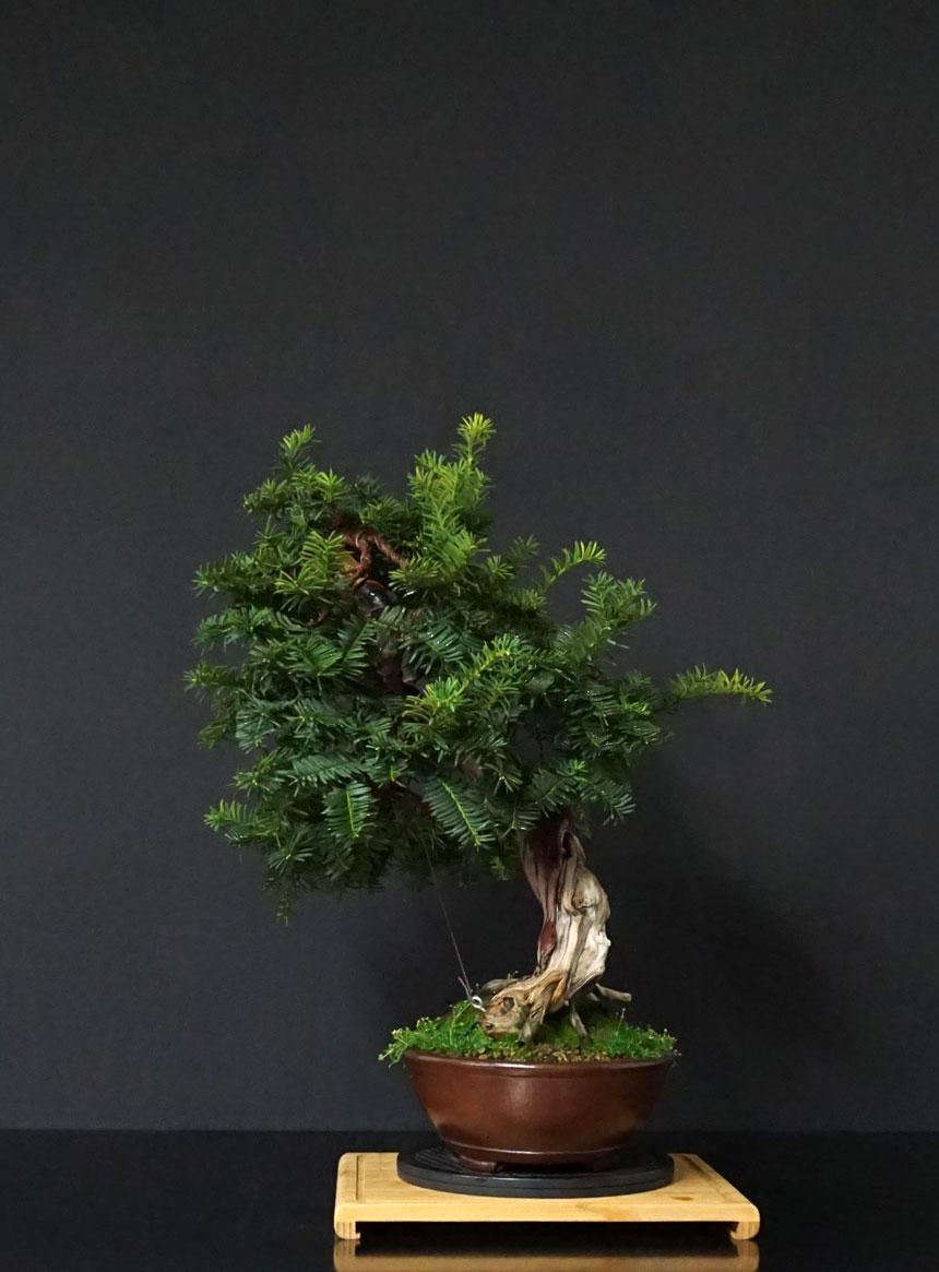 Taxus Baccata - Pagina 2 Lato-d22