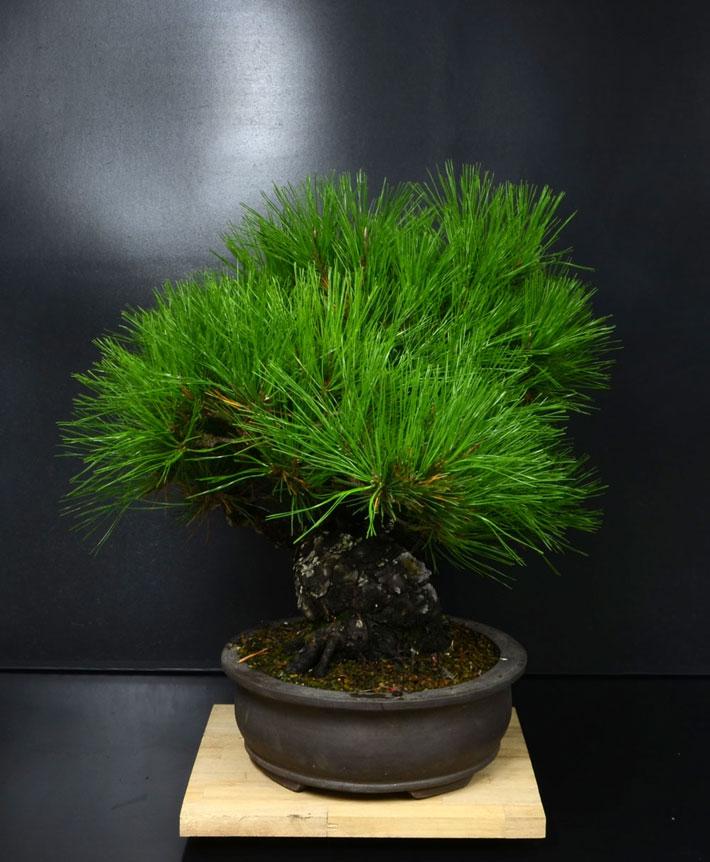 Pino Nero Giapponese 2 - Pinus Thumbergii 2 Lato-s11