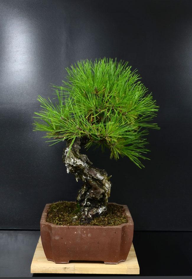 Pino Nero Giapponese - Pinus Thumbergii - Pagina 2 Lato-s12