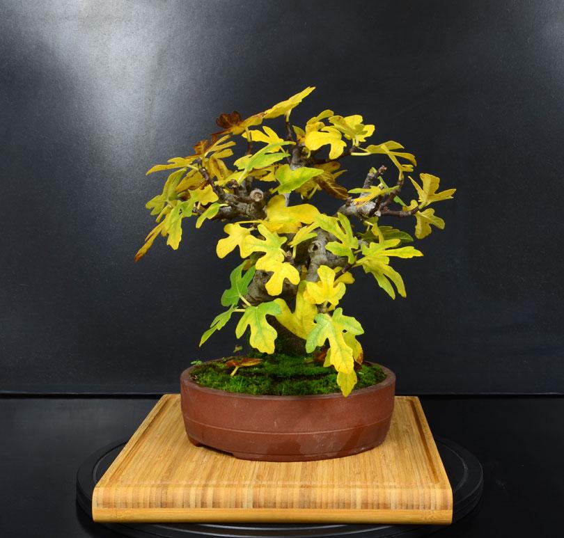 Ficus-Carica - Pagina 11 Lato-s13