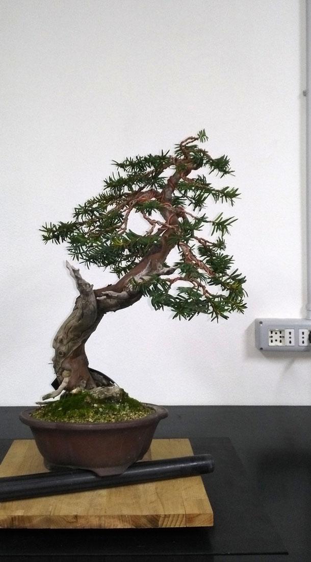 Taxus Baccata Lato-s14