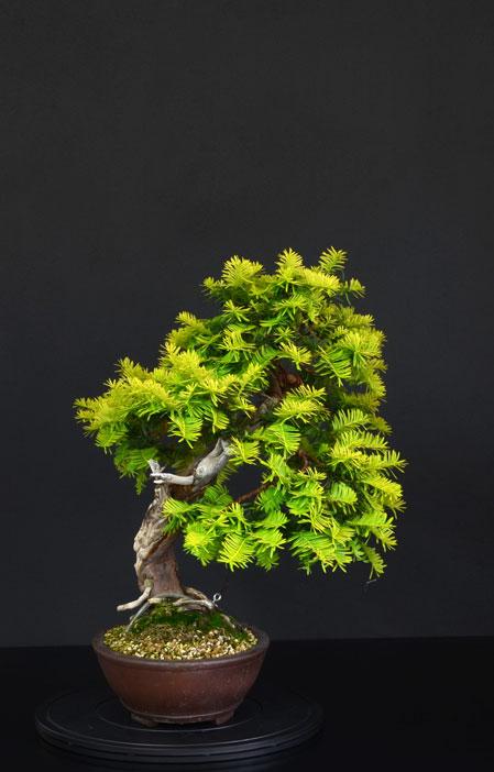 Taxus Baccata Lato-s16