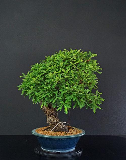 Quercus cerris - Pagina 9 Lato-s17
