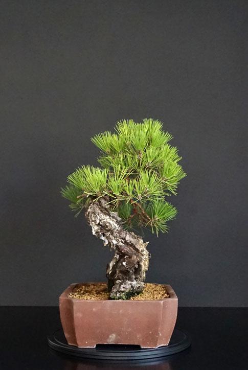 Pino Nero Giapponese - Pinus Thumbergii - Pagina 2 Lato-s19