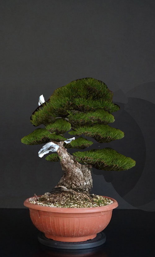 Pino Nero Giapponese 2 - Pinus Thumbergii 2 - Pagina 2 Nuovo-10