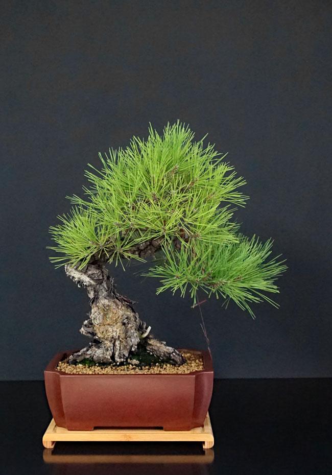 Pino Nero Giapponese - Pinus Thumbergii - Pagina 2 Pinus-11