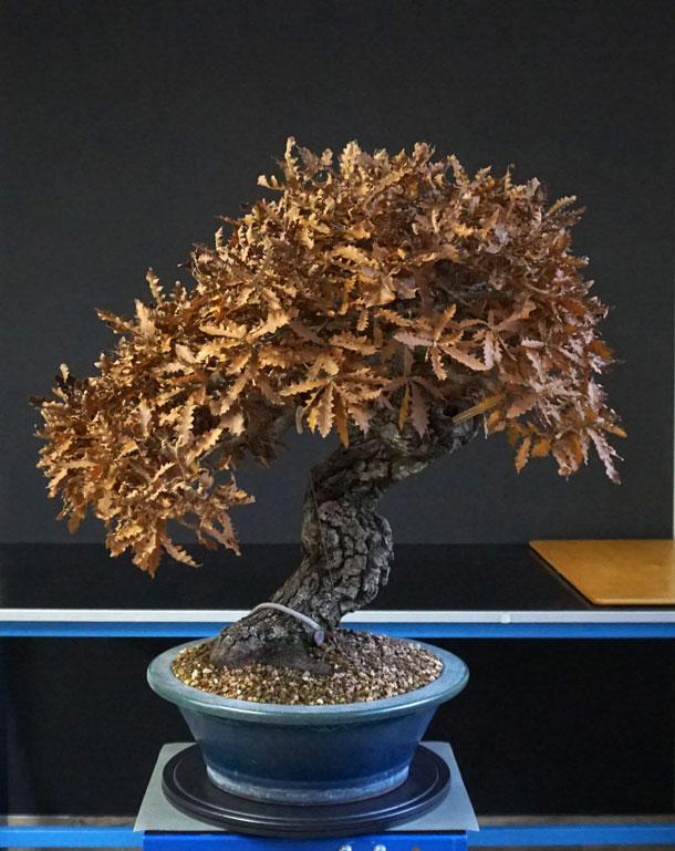 Quercus cerris - Pagina 10 Pre-de10