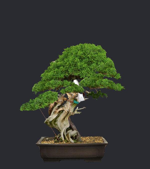 Juniperus Rigida Giapponese (Tosho) Proget10