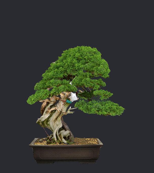 Juniperus Rigida Giapponese (Tosho) Proget11