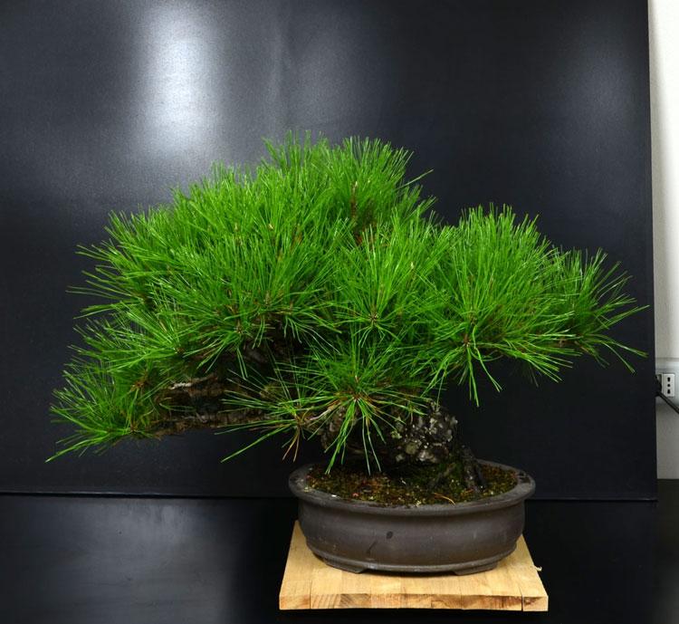 Pino Nero Giapponese 2 - Pinus Thumbergii 2 Retro_11