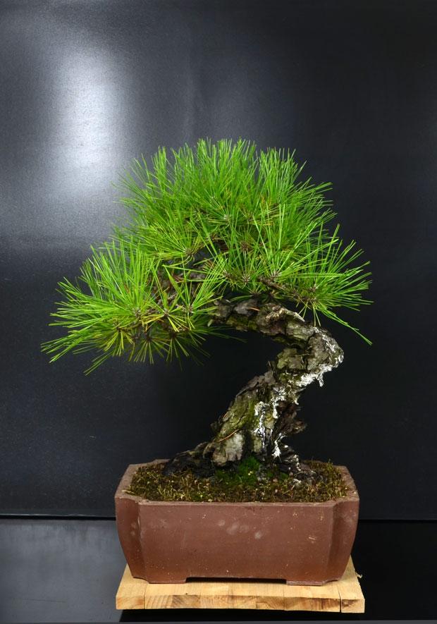 Pino Nero Giapponese - Pinus Thumbergii - Pagina 2 Retro_12