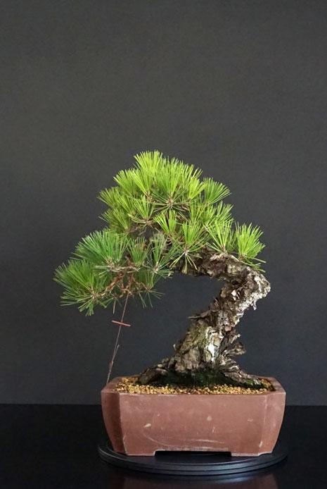 Pino Nero Giapponese - Pinus Thumbergii - Pagina 2 Retro_19