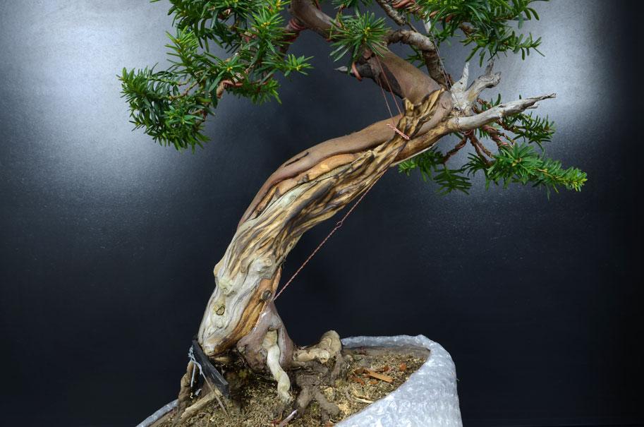 Taxus Baccata Secco-10