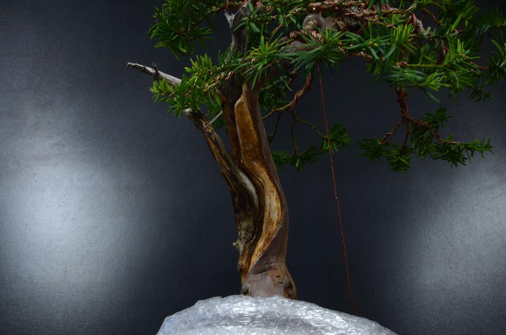 Taxus Baccata Secco-11
