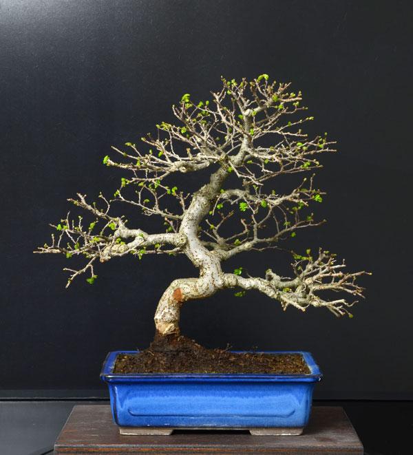 Ulmus Parvifolia (Olmo Cinese) - Anlaids - Pagina 4 Zelkov10