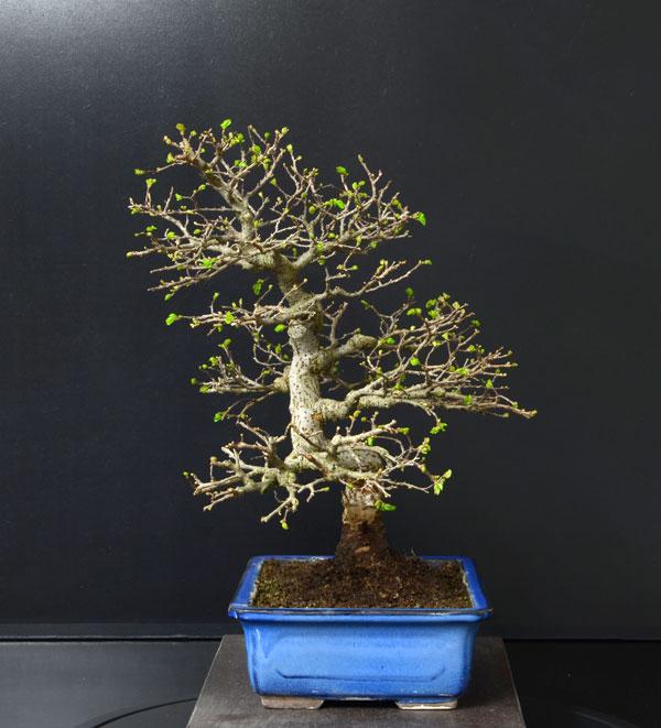 Ulmus Parvifolia (Olmo Cinese) - Anlaids - Pagina 4 Zelkov11