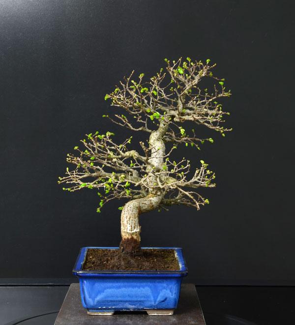 Ulmus Parvifolia (Olmo Cinese) - Anlaids - Pagina 4 Zelkov12