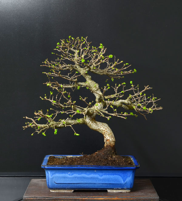Ulmus Parvifolia (Olmo Cinese) - Anlaids - Pagina 4 Zelkov13