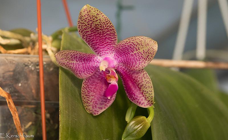 Phalaenopsis gigantea x bellina (Gigabell) - Seite 3 Dsc00110