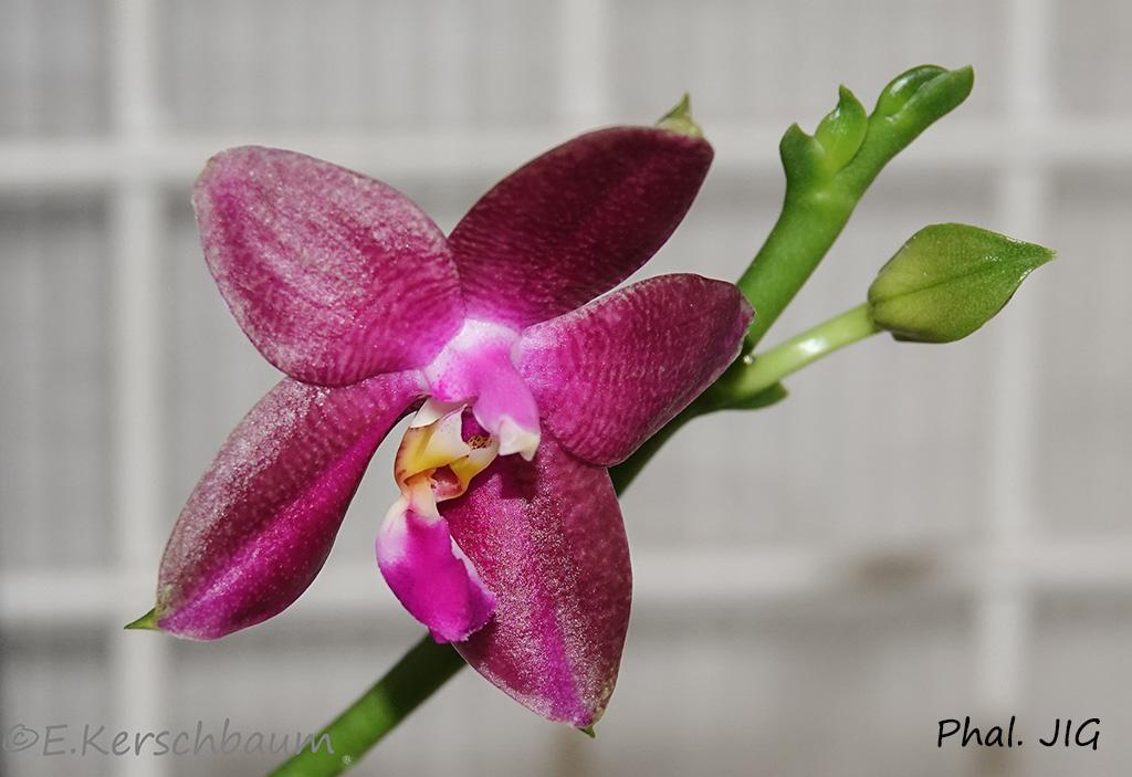 Phalaenopsis venosa x bellina (JIG) - Seite 2 Dsc01510