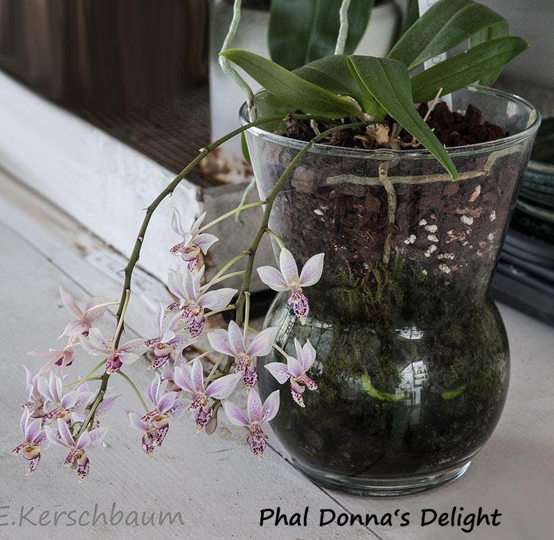 Phalaenopsis equestris x finleyi (Donna's Delight ) - Seite 5 Dsc03110