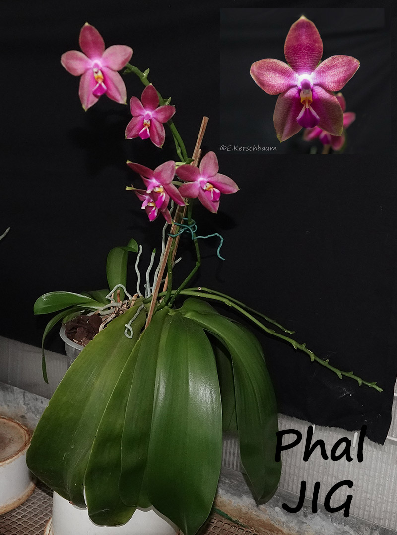 Phalaenopsis venosa x bellina (JIG) - Seite 3 Dsc03610