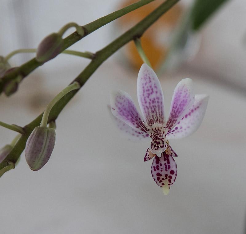 Phalaenopsis equestris x finleyi (Donna's Delight ) - Seite 6 Dsc03611