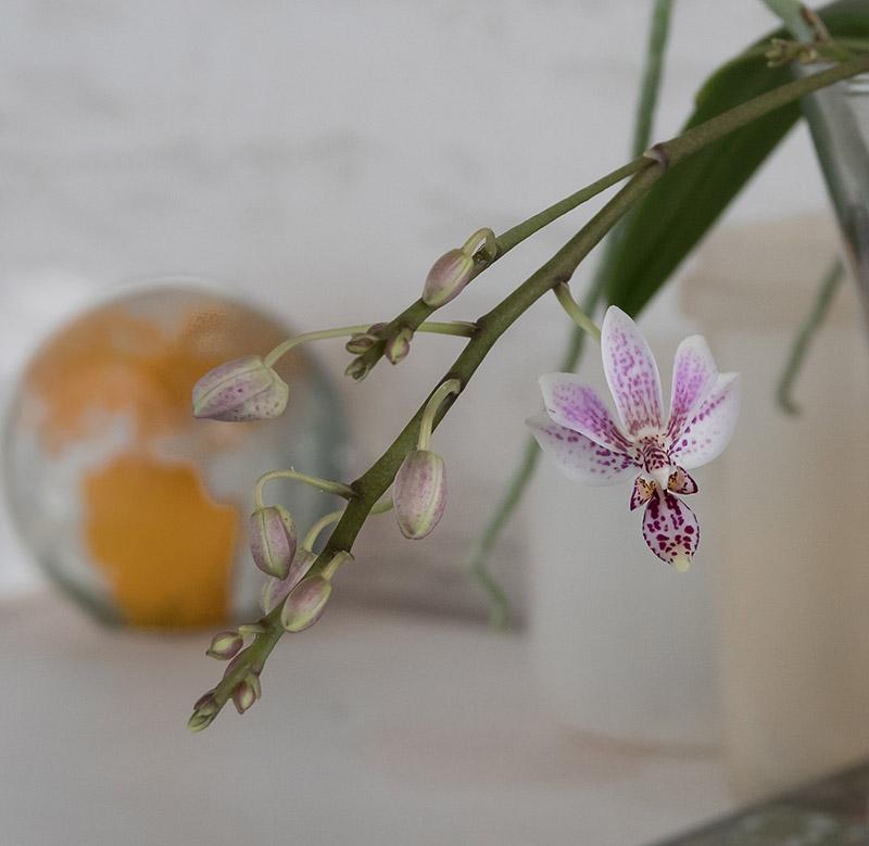 Phalaenopsis equestris x finleyi (Donna's Delight ) - Seite 6 Dsc03613