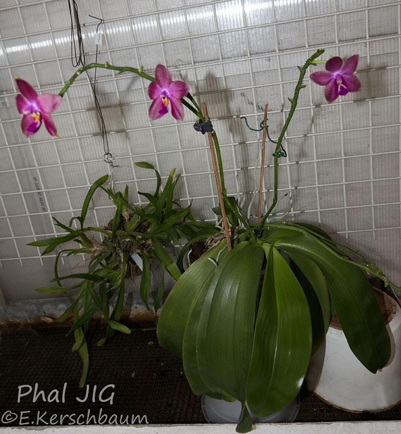 Phalaenopsis venosa x bellina (JIG) - Seite 3 Dsc07712