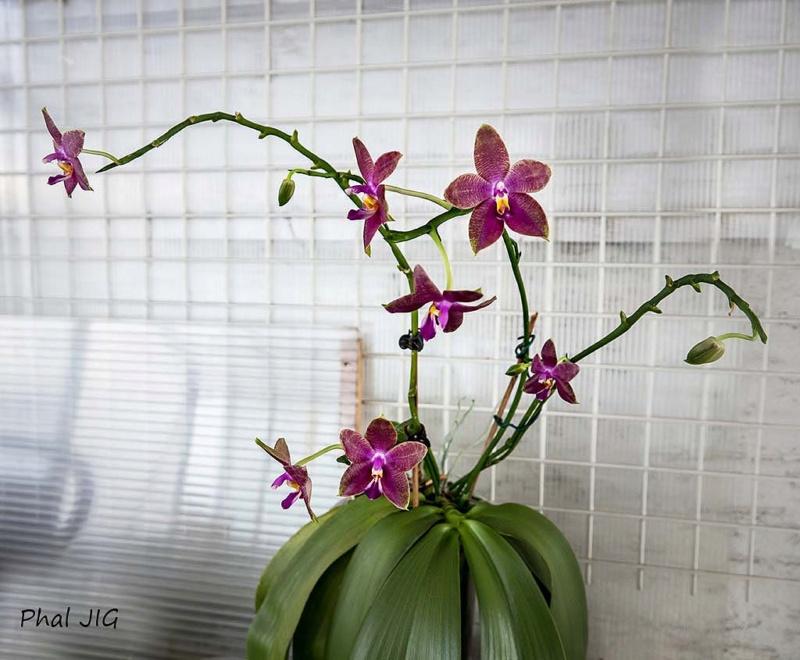 Phalaenopsis venosa x bellina (JIG) - Seite 4 Dsc08611
