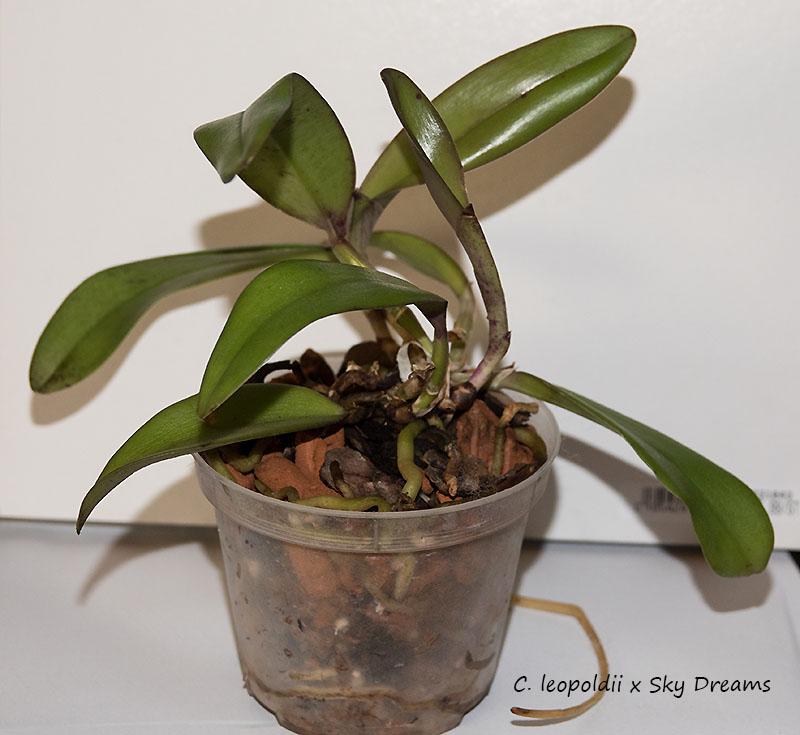 Orchideen-Neuzugang 2 - Seite 33 Dsc09310