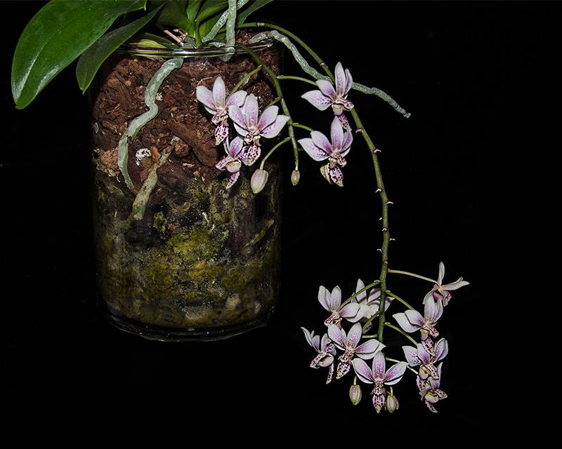 Phalaenopsis equestris x finleyi (Donna's Delight ) - Seite 2 Dsc_0024