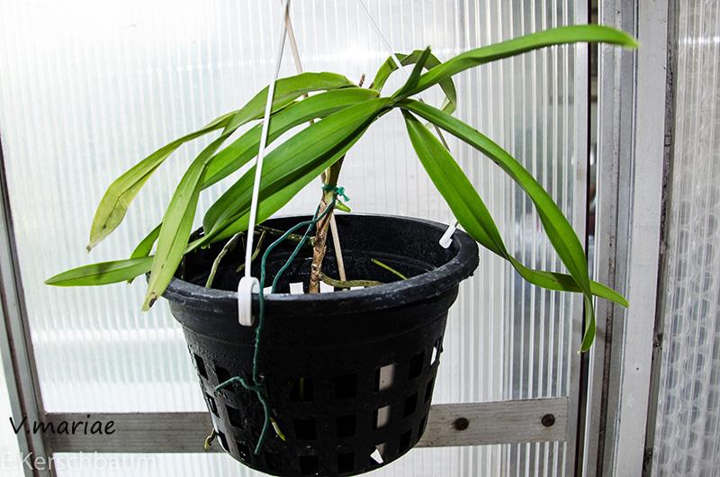 Orchideen-Neuzugang 2 - Seite 5 Dsc_0225