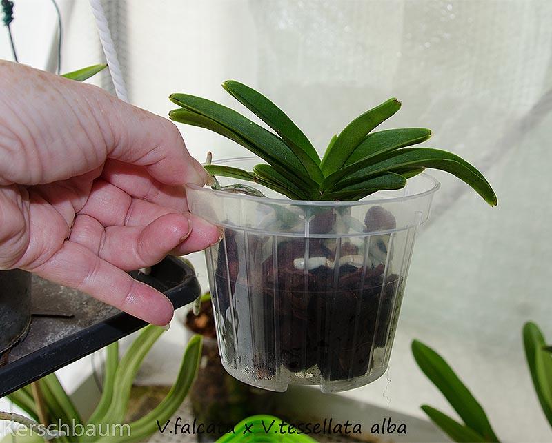 Orchideen-Neuzugang 2 - Seite 5 Dsc_0227