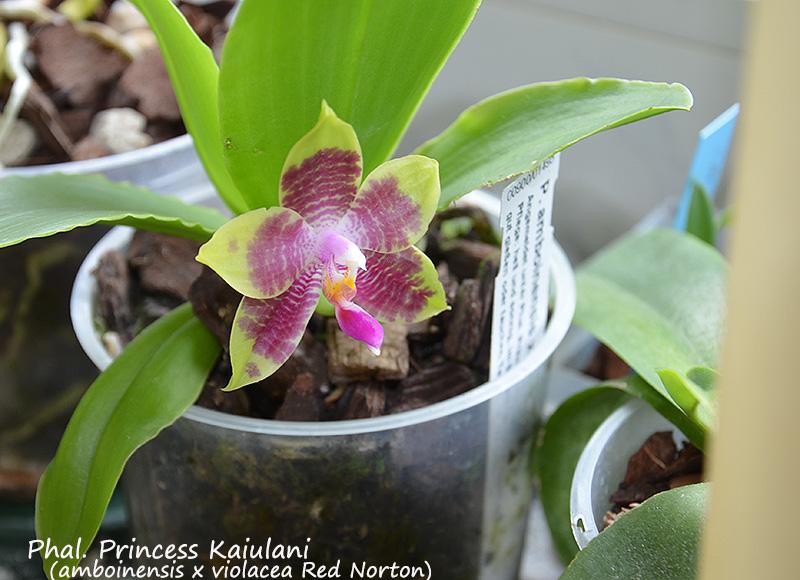 Phalaenopsis violacea x amboinensis (Princess Kaiulani)  Dsc_0232