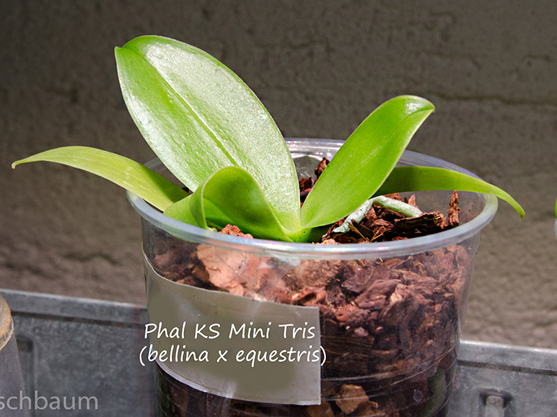 Phalaenopsis bellina x equestris (KS Mini Tris) Dsc_0302