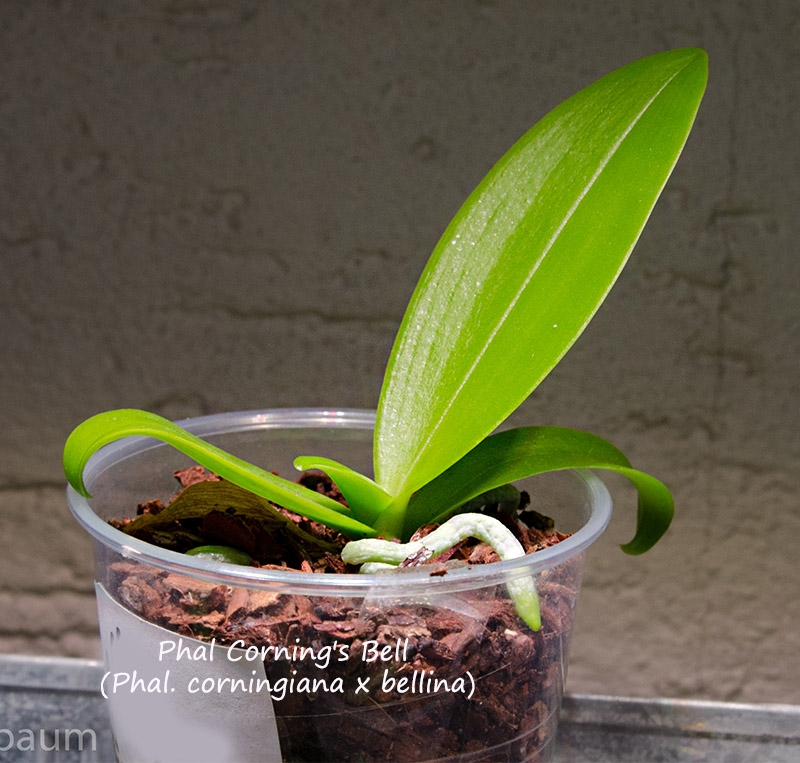 Phalaenopsis corningiana x bellina (Corning's Bell) Dsc_0303