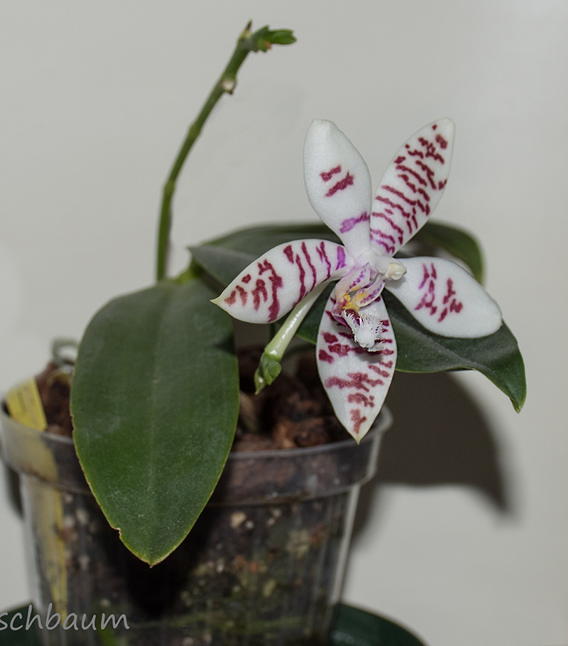 Phalaenopsis amabilis x tetraspis (Helga Lukassen) Dsc_0782