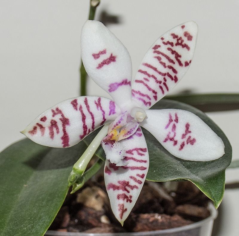 Phalaenopsis amabilis x tetraspis (Helga Lukassen) Dsc_0783