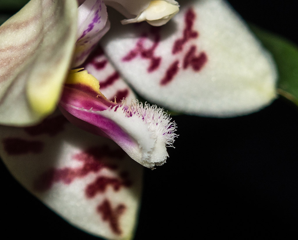 Phalaenopsis amabilis x tetraspis (Helga Lukassen) Dsc_0784