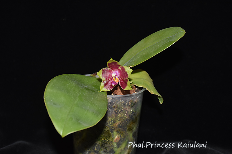 Phalaenopsis violacea x amboinensis (Princess Kaiulani)  - Seite 2 Dsc_0910