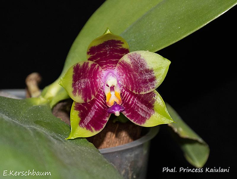 Phalaenopsis violacea x amboinensis (Princess Kaiulani)  - Seite 2 Dsc_0911