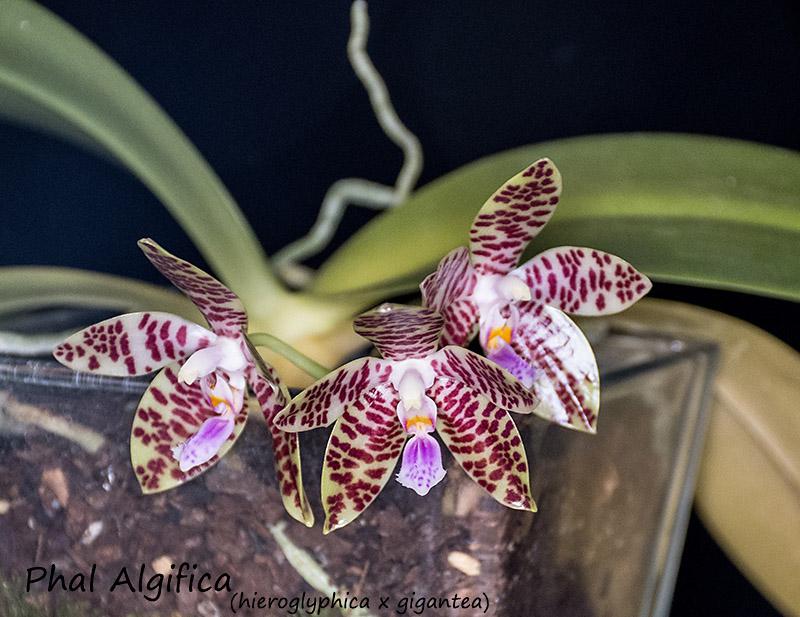 Phalaenopsis gigantea x hieroglyphica : Algifica Dsc_1332