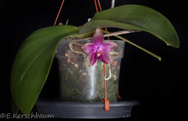 Phalaenopsis gigantea x bellina (Gigabell) - Seite 2 Dsc_1818