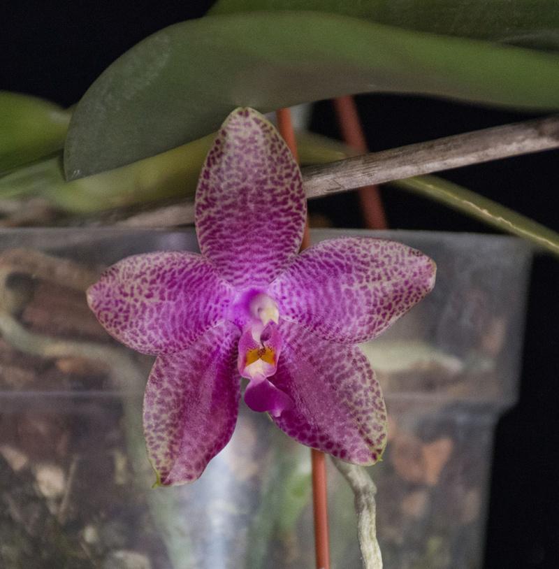 Phalaenopsis gigantea x bellina (Gigabell) - Seite 2 Dsc_1819