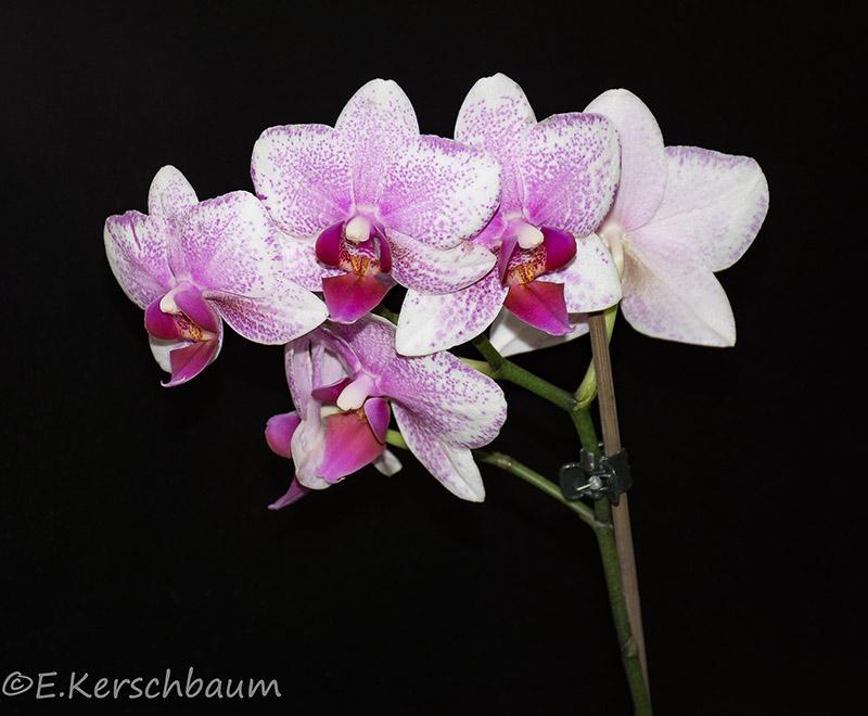 Orchideen-Neuzugang 2 - Seite 20 Dsc_2110