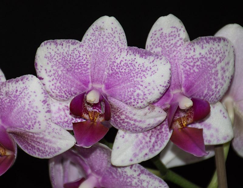 Orchideen-Neuzugang 2 - Seite 20 Dsc_2111