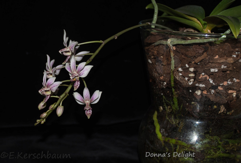 Phalaenopsis equestris x finleyi (Donna's Delight ) - Seite 4 Dsc_2911