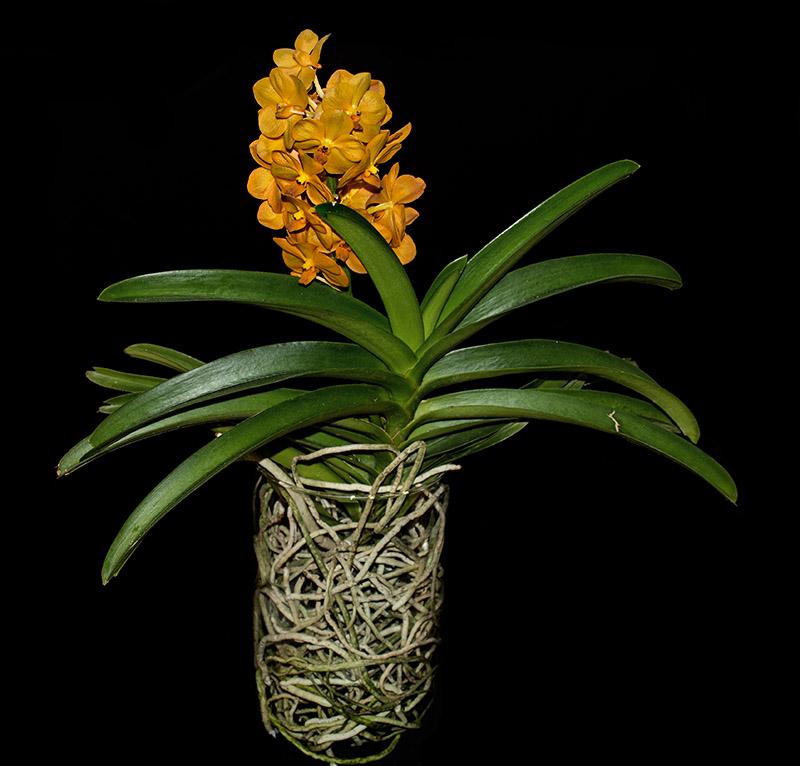 Orchideen-Neuzugang 2 - Seite 21 Dsc_4515